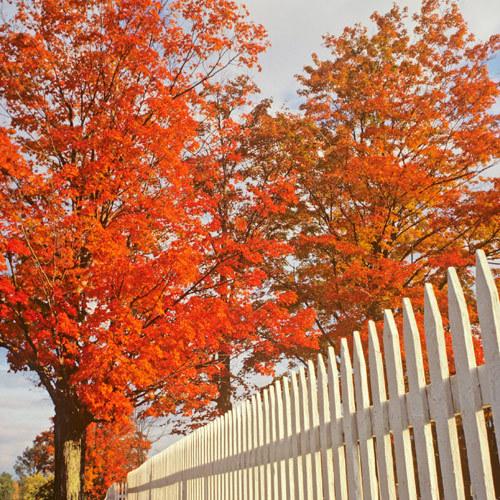 Arțar frunze cu artrita osteoartrita