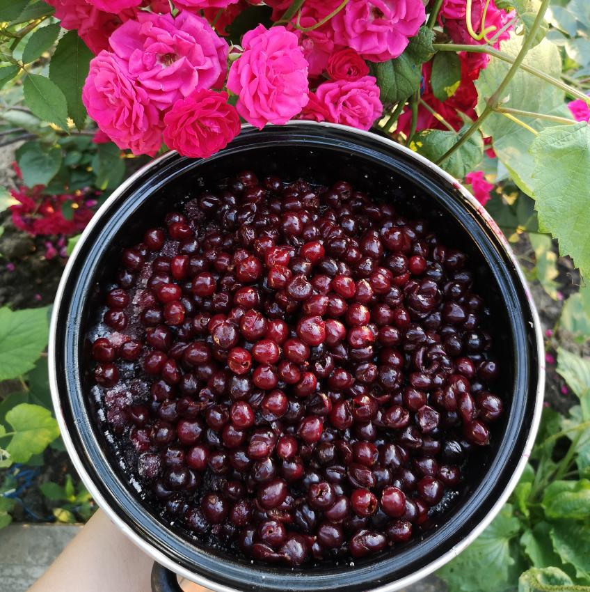 dulceata de cirese amare, foto Mădălina Drăgoi